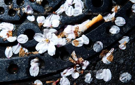 堕ちた桜の写真素材 [FYI00207234]