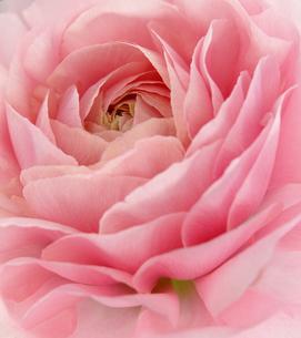 ラナンキュラス ピンク アップの写真素材 [FYI00207240]