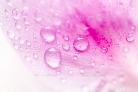 花びらと水滴の写真素材 [FYI00207275]