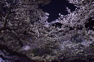 夜の桜の写真素材 [FYI00207380]