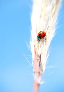 秋空のてんとう虫の素材 [FYI00207386]