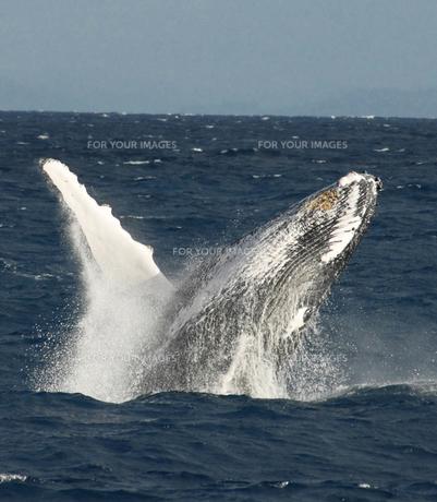 クジラのジャンプの写真素材 [FYI00207523]