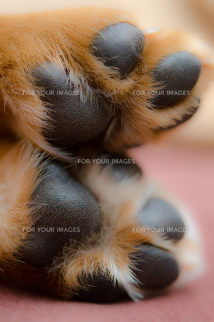 ラブラドールの子犬、肉球の写真素材 [FYI00207585]