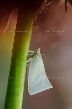 ヨコバイ Leaf hopper の素材 [FYI00207593]