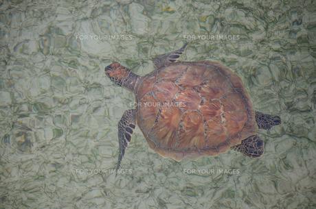 アオウミガメの写真素材 [FYI00207599]