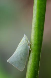 ヨコバイ Leaf hopper の写真素材 [FYI00207605]