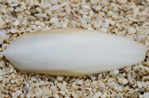イカの骨 の写真素材 [FYI00207606]