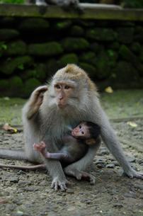 ウブドゥの猿 親子の写真素材 [FYI00207635]