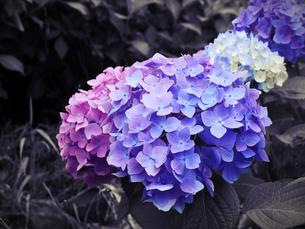 紫の妖精の写真素材 [FYI00207848]