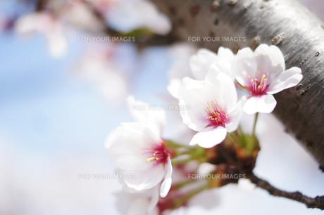 さわやかな青空と桜のアップの写真素材 [FYI00207911]