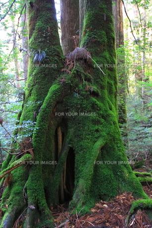 苔に包まれるの写真素材 [FYI00207934]