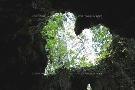 ウイルソン杉のハートの写真素材 [FYI00207937]