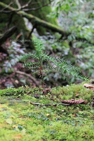 屋久杉の倒木よりの芽生えの写真素材 [FYI00207942]