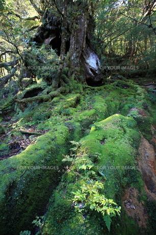苔むした倒木と芽生えの写真素材 [FYI00207973]