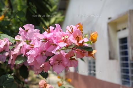 スリグヌンプライの花の写真素材 [FYI00207988]