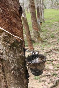 ゴムの木の写真素材 [FYI00208079]