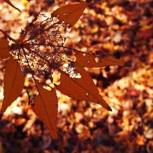 秋を全うの写真素材 [FYI00208163]