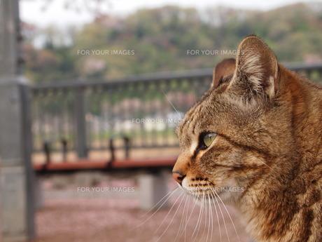 トラ猫の写真素材 [FYI00208167]