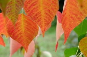 ナンキンハゼの紅葉の写真素材 [FYI00208878]