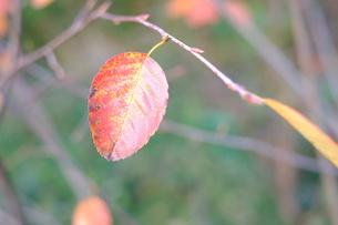 紅葉した葉の写真素材 [FYI00208930]