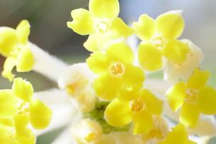 三椏の花の写真素材 [FYI00209174]