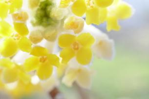 三椏の花の写真素材 [FYI00209179]