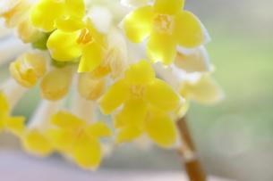 三椏の花の写真素材 [FYI00209183]