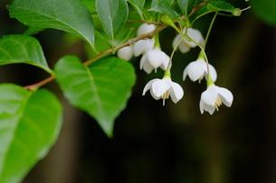 エゴの花咲く森の写真素材 [FYI00209197]