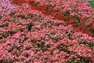 ベゴニア花壇の写真素材 [FYI00209250]