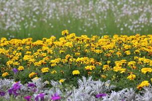 花畑の写真素材 [FYI00209251]