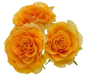 薔薇の写真素材 [FYI00209341]