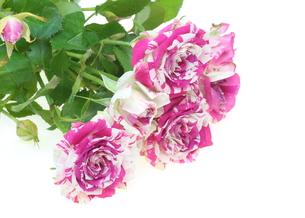 薔薇の写真素材 [FYI00209466]