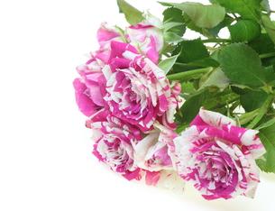 薔薇の写真素材 [FYI00209481]