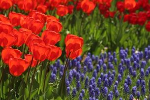 チューリップ花壇の写真素材 [FYI00209494]