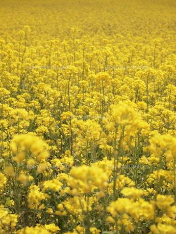 一面の菜の花の素材 [FYI00210506]