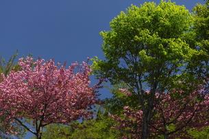 大山桜と新緑の写真素材 [FYI00210511]