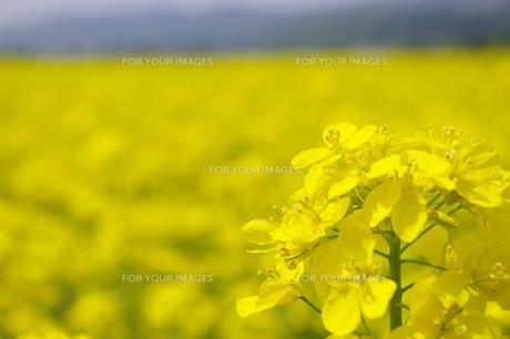 菜の花と菜の花畑の写真素材 [FYI00210516]