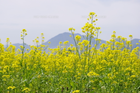 飯山の菜の花畑の写真素材 [FYI00210520]