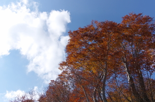 奥只見のブナの紅葉の写真素材 [FYI00210521]