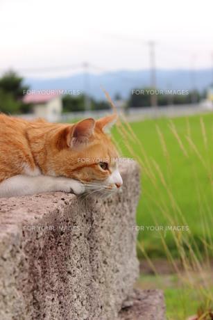 田んぼを背景に黄昏猫の写真素材 [FYI00210523]