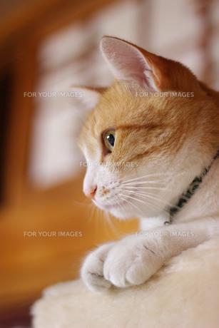 猫の横顔の写真素材 [FYI00210538]