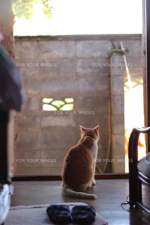 外を見る猫の写真素材 [FYI00210549]