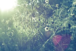 逆光の中のヒマワリの写真素材 [FYI00210551]