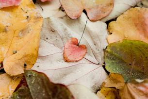 ハート型の落ち葉の写真素材 [FYI00210552]