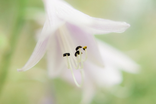 レンゲギボウシの接写の写真素材 [FYI00210558]