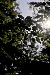逆光に透けた葉の写真素材 [FYI00210566]