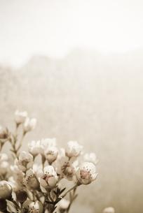 ワックスフラワーの接写の写真素材 [FYI00210571]