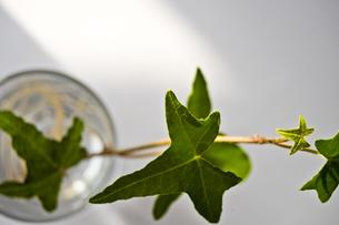 グラスに挿したアイビーの葉の写真素材 [FYI00210591]