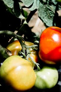 栽培中のトマトの接写の写真素材 [FYI00210595]
