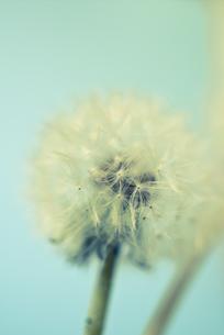 タンポポの接写の写真素材 [FYI00210596]